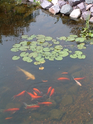 Pond fish fish food aeration kit heaters and de icers for Goldfish pond kits